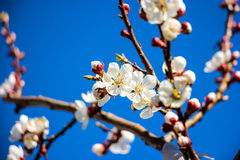 Spring garden closeup flowers blooming cherry trees Royalty Free Stock Images