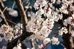 Spring garden closeup flowers blooming cherry trees Royalty Free Stock Photo