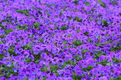Large purple flower background. This is a large pink purple floral background image Royalty Free Stock Photo