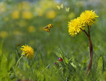 Spring Garden. Dandelions in the garden with ladybrids, bee and butterfly's Royalty Free Stock Photos