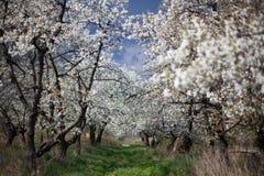The spring in the garden - flourishing fruit trees Stock Photos