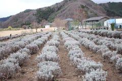 Spring garden flower adjacent to kawagujiko lake. Royalty Free Stock Photos