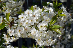 Spring garden flower cherry tree beauty. Cherry tree Spring lilac garden flower Bush beauty garden Park trees flowering forest grass Stock Images