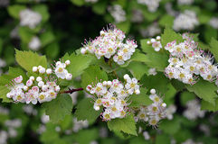 Spring garden flower hawthorn tree beauty. Cherry tree Spring lilac garden flower Bush beauty garden Park trees flowering forest grass hawthorn Royalty Free Stock Photos