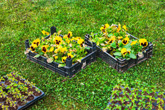 Spring in the garden. Flower seedlings in box on green grass from above. Background layout with free copyspace Stock Photography