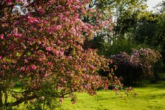 Flowering branches of apple with bright pink flowers royalty free stock photo