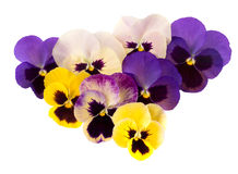 Spring garden flowers - pansies aka violas. Purple yellow and pi Stock Image
