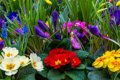 Spring garden flowers. A very colorful spring garden with primrose, daffodils and grape hyacinth Stock Image