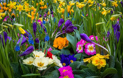 Spring garden flowers. A very colorful spring garden with primrose, daffodils and grape hyacinth Stock Photos