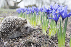 Spring in the garden hedgehog near purple flowers irises. Stock Photo