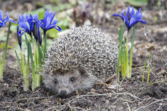 Spring in the garden hedgehog near purple flowers irises. Stock Image