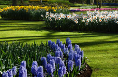 Spring garden with hyacinths and daffodils royalty free stock image
