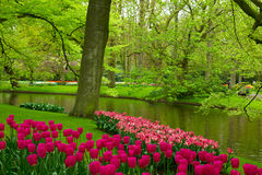 Spring garden in Keukenhof, Holland. Colorful spring lawn with mauve tulips  in  garden Keukenhof, Holland Stock Photos