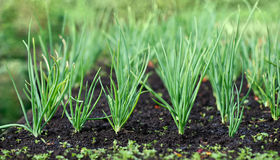 Spring garden plants - garlic, onion. bow grows on beds Stock Images