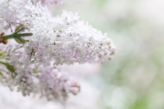 Spring garden scene with blooming white lilac bush. Flower petals macro view. soft focus. shallow depth of field Royalty Free Stock Photography