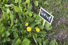 Spring garden with sorrel and dandelion. Spring sunny day. Fresh vegetables. Healthy food Royalty Free Stock Photography