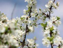 Blooming spring orchard in may. Spring garden surrounded by white flowers Royalty Free Stock Image