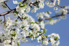 Blooming spring orchard in may. Spring garden surrounded by white flowers Royalty Free Stock Photo