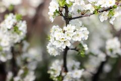 Blooming spring orchard in may. Spring garden surrounded by white flowers Stock Image