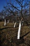 Spring garden tree Royalty Free Stock Photo