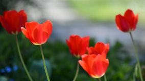 Spring garden with tulips. Spring garden with red tulips swaying in the wind in flowerbed stock footage
