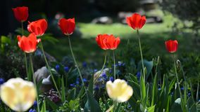 Spring garden with tulips. Spring garden with red tulips swaying in the wind in flowerbed stock video footage