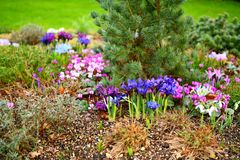 Spring in the garden, UK Newmarket Royalty Free Stock Photo
