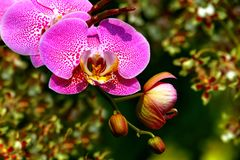Tropical bright and beautiful pink dotted orchids royalty free stock images