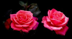 Attractive pair of pink roses flowers in a tropical garden royalty free stock images