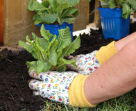 Spring Gardening. Planting flowers in a prepared flower bed Royalty Free Stock Image