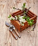 Spring gardening branch plum in wooden box royalty free stock images