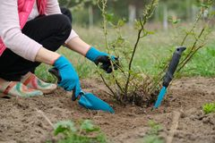 Free Spring Gardening, Female Gardener Wearing Gloves With Garden Tools And Soil Under Rose Bush Royalty Free Stock Image - 146376476