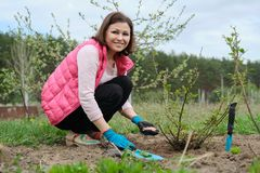 Spring gardening, female gardener working in gloves with garden tools fertilizes the soil with mineral granulated fertilizers. Under rose bush royalty free stock photography
