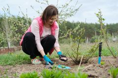 Spring gardening, female gardener working in gloves with garden tools fertilizes the soil with mineral granulated fertilizers stock photography
