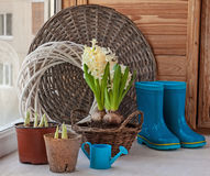 Spring gardening. Growing hyacinths on the balcony Stock Photography