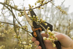 Spring gardening, pruning. Royalty Free Stock Images
