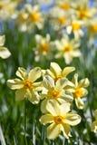 Spring gele narcissen op Stock Afbeeldingen