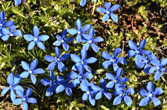 Spring Gentian in the French Alps Stock Photo