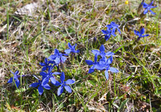 The spring gentian (Gentiana verna) flowers in spring at mountains Stock Image
