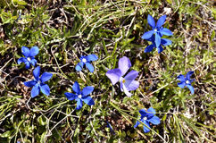 Spring Gentian and violet Royalty Free Stock Photos