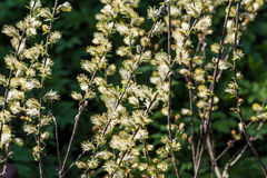Spring gentle background with  blossoming willow catkins Royalty Free Stock Photography
