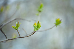 Spring gentle leaves, buds and branches Stock Photography