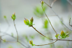 Spring gentle leaves, buds and branches Stock Image