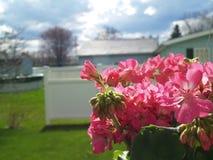 Spring Geraniums Royalty Free Stock Photo