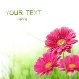 Spring gerber flower Royalty Free Stock Image