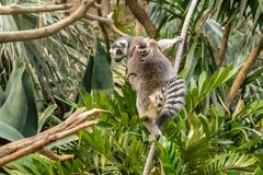 From tree to tree at Bronx zoo. Spring is a good time to see new babies at Bronx zoo and many animals outside. Here, lemur family from Madagascar royalty free stock photography