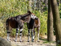 Okapi snack at Bronx zoo. Spring is a good time to see new babies at Bronx zoo and many animals outside. Here, an okapi, un mix between mule and zebra but in stock photography