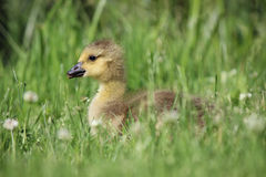 Spring Gosling. A young Canada Goose (Branta canadensis) gosling sitting in the grass on a Spring day Royalty Free Stock Images