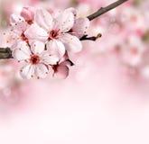Spring gränsar bakgrund med rosa färgblomningen arkivfoton