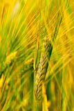Spring Grain Stock Photography